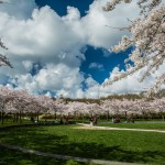 Amstelveen, NL - Cherry blossom season has opened, part 1
