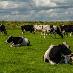 Marken, NL - Cows, Bikes & Dikes