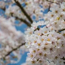 Amstelveen, NL - Cherry blossom